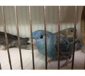 Толстоклювый попугай Катерины - Птицы в Евпатории