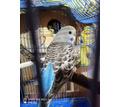 Волнистый попугай девочка - Птицы в Евпатории
