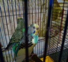 Пара волнистых попугаев - Птицы в Евпатории