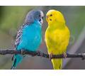 Молодые волнистые попугаи - Птицы в Евпатории