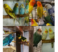 Продам молодых попугаев: неразлучники, какарики, волнушки, кореллы - Птицы в Евпатории