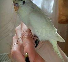 Волнистые попугайчики различных окрасов - Птицы в Евпатории