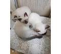 Продам  сиамских котят - Кошки в Севастополе