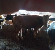 Продам бычков возраст 6-7 месяцев отличный вариант на откорм - Сельхоз животные в Евпатории