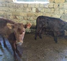 Продам двух телочек | Красной - 2,5 месяца | Черной - месяц - Сельхоз животные в Евпатории