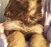 Немецкая овчарка продажа щенков - Собаки в Евпатории