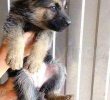 Отдам щенят немецкой овчарки - Собаки в Евпатории