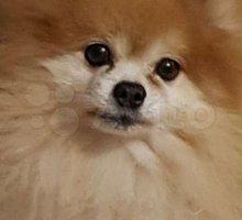 Взрослый шпиц - Собаки в Евпатории