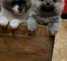 Щенки шпица - Собаки в Евпатории