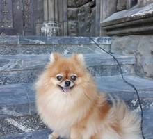 Померанский шпиц - Собаки в Евпатории