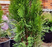 Хвойные растения - Саженцы, растения в Севастополе