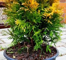 Туя Янтарь - Саженцы, растения в Севастополе