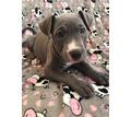 американский питбультерьер щенки - Собаки в Симферополе