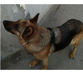 Пропала нём. овчарка - Собаки в Севастополе