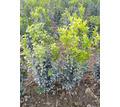 Продам самшит - Саженцы, растения в Симферополе