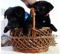 Породистые щенки немецкой овчарки черного окраса - Собаки в Севастополе
