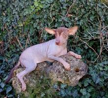 Мексиканская голая, ксолоицткуинтли - Собаки в Симферополе