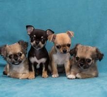 Высокопородные щенки - Собаки в Феодосии