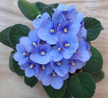 Молоденькая цветущая фиалочка - Саженцы, растения в Севастополе