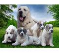 Щенки Среднеазиатской овчарки - Собаки в Севастополе