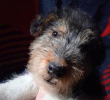 фокстерьер щенок - Собаки в Симферополе