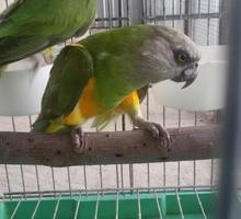 Синегальский попугай - Птицы в Симферополе