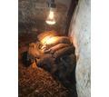 Продаются поросята - Сельхоз животные в Симферополе