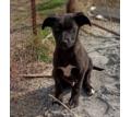 Щенок Блэк - Собаки в Севастополе