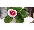 Глоксиния бело-розовая - Саженцы, растения в Севастополе