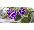 Красивая сортовая фиалочка - Саженцы, растения в Севастополе