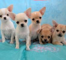 Щенки     чихуахуа - Собаки в Ялте
