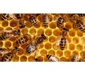 Продаю пчелосемьи на высадку г. Севастополь, с. Орловка - Пчеловодство в Севастополе