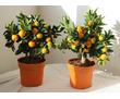Продам саженцы мандарина,лимона, фото — «Реклама Севастополя»