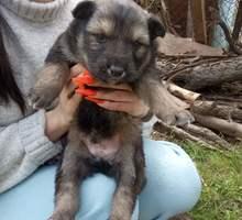 Отдам в добрые руки милых щеночков - Собаки в Симферополе