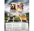 Продажа Щенков Бигля. - Собаки в Севастополе