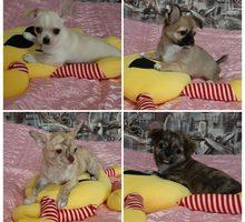 Комочек счастья в каждый дом - Собаки в Симферополе
