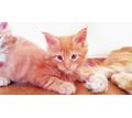 Котята Мейн-кунята - Кошки в Евпатории