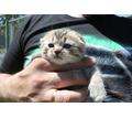 Шотландский вислоухий котик - Кошки в Черноморском