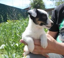 Джек рассел терьер щенки - Собаки в Симферополе