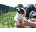 Джек рассел терьер щенки - Собаки в Черноморском