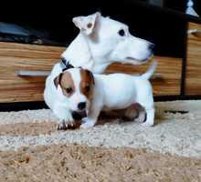 Продаются очень красивые щенки - Собаки в Симферополе