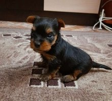 Щенок йоркширского терьера (мальчик) - Собаки в Евпатории