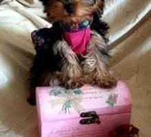 Щенки йоркширского терьера мини - Собаки в Евпатории