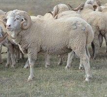 СРОЧНО!!!! Продам барашек - Сельхоз животные в Симферополе