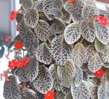 Эписция цветущая - Саженцы, растения в Севастополе