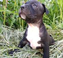 Продам щенков амстаффа, девочек - Собаки в Алуште