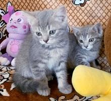 Отдам в добрые руки Британских котят - Кошки в Керчи