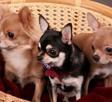 Продам щенков Чихуахуа, - Собаки в Симферополе