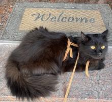 Вязка чёрный кот - Кошки в Ялте