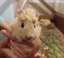 Продам морских свинок - Грызуны в Симферополе
